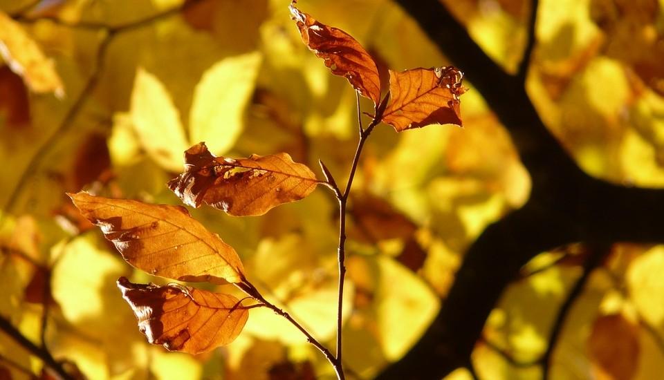 beukenblad-in-de-herfst