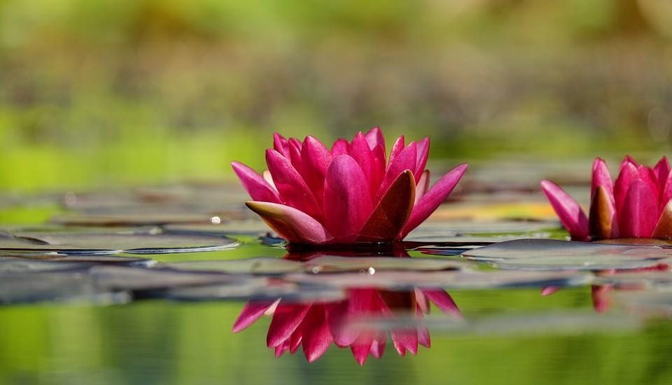 roze-waterlelies